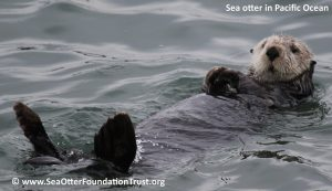 sea otter for differences post