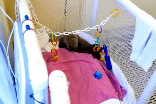 sea otter pup in nursery