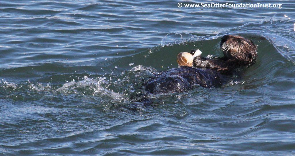 sea otter eats clam floating on back