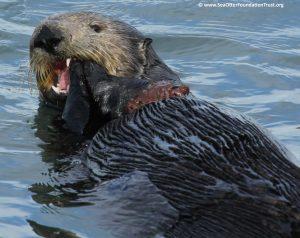 sea otter eats crab in Pacific ocean in California